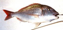 Common Seabream