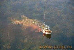 S-a oprit pescuitul stiucii - ORDINUL nr. 642/2005